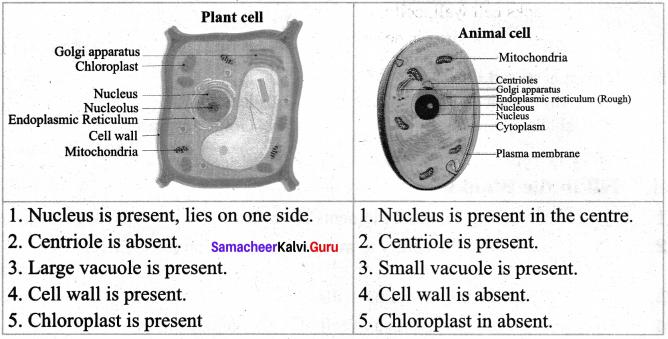 Samacheer Kalvi 7th Biology Guide Term 2 Chapter 4 Cell Biology