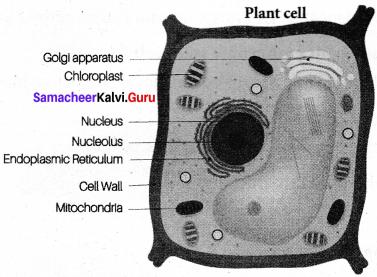 Samacheer Kalvi Guru Science 7th Science Solutions Term 2 Chapter 4 Cell Biology
