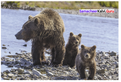 Little Cyclone The Story Of A Grizzly Cub Questions And Answers Samacheer Kalvi 9th English Solutions Supplementary Chapter 5