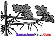 Reproduction And Modification In Plants 7th Standard Book Back Answers Samacheer Kalvi Term 1 Chapter 5