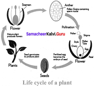 Samacheer Kalvi Guru 7th Science Solutions Term 1 Chapter 5 Reproductive And Modification In Plants