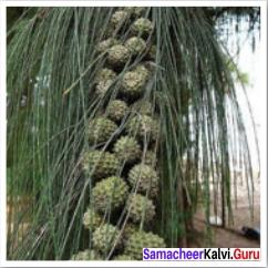 Our Casuarina Tree Appreciation Questions Samacheer Kalvi 12th English Solutions Poem Chapter 2