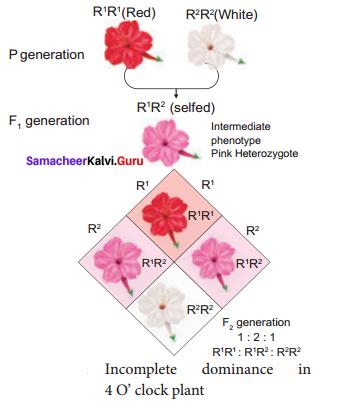 Samacheer Kalvi 12th Bio Botany Solutions Chapter 2 Classical Genetics