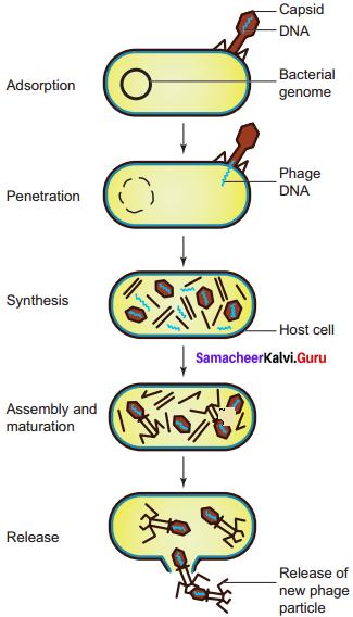 Samacheer Kalvi 11th Bio Botany Solutions Chapter 1 Living World 17
