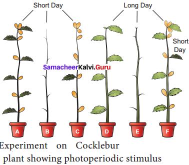 Samacheer Kalvi 11th Bio Botany Solutions Chapter 15 Plant Growth and Development