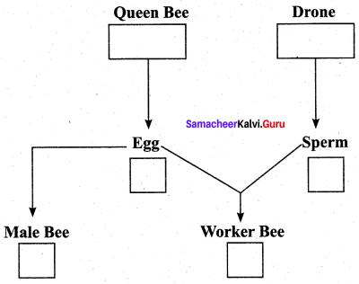 Samacheer Kalvi 12th Bio Zoology Solutions Chapter 1 Reproduction in Organisms