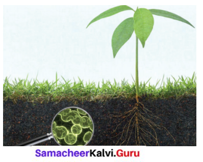 Samacheer Kalvi 6th Science Solutions Term 3 Chapter 5 Plants in Daily Life 1