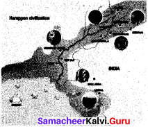 Indus Civilization Belongs To Answer Samacheer Kalvi 6th  Social Science History Solutions Term 1 Chapter 3