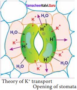 Samacheer Kalvi 11th Bio Botany Solutions Chapter 11 Transport in Plants 10