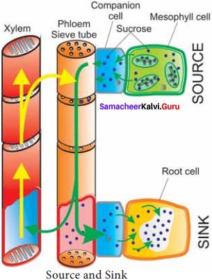 Samacheer Kalvi 11th Bio Botany Solutions Chapter 11 Transport in Plants 7
