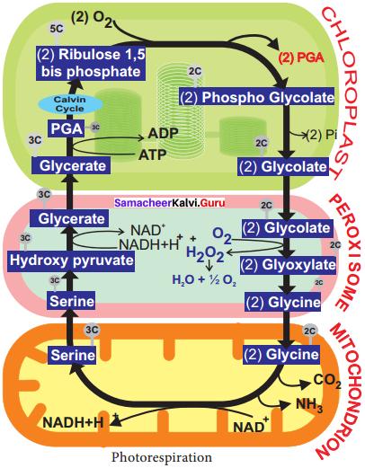 Samacheer Kalvi 11th Bio Botany Solutions Chapter 13 Photosynthesis 6
