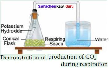 Samacheer Kalvi 11th Bio Botany Solutions Chapter 14 Respiration 12