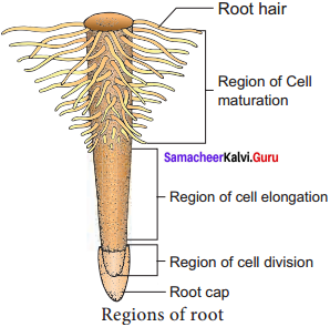 Samacheer Kalvi Guru 11th Botany Solutions Chapter 3 Vegetative Morphology