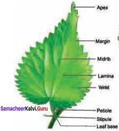 Samacheer Kalvi 11th Bio Botany Solutions Chapter 3 Vegetative Morphology 15