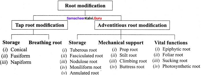 Samacheer Kalvi 11th Bio Botany Solutions Chapter 3 Vegetative Morphology 19