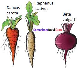 Samacheer Kalvi 11th Bio Botany Solutions Chapter 3 Vegetative Morphology 20