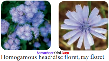 Samacheer Kalvi 11th Bio Botany Solutions Chapter 4 Reproductive Morphology 8