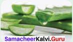 Samacheer Kalvi 11th Bio Botany Solutions Chapter 5 Taxonomy and Systematic Botany 6