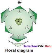 Samacheer Kalvi 11th Bio Botany Solutions Chapter 5 Taxonomy and Systematic Botany 7