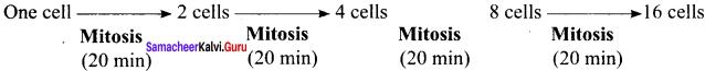 Samacheer Kalvi 11th Bio Botany Solutions Chapter 7 Cell Cycle 4