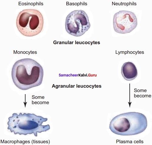 Samacheer Kalvi 11th Bio Zoology Solutions Chapter 7 Body Fluids and Circulation img 4