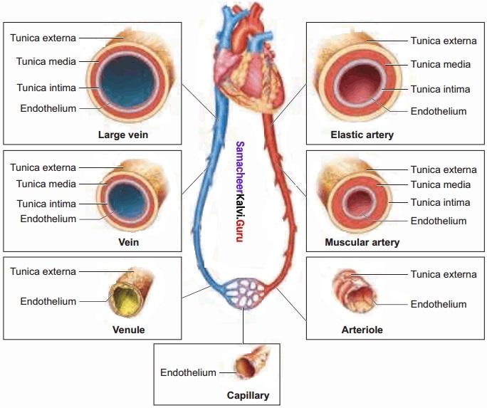 Samacheer Kalvi 11th Bio Zoology Solutions Chapter 7 Body Fluids and Circulation img 9
