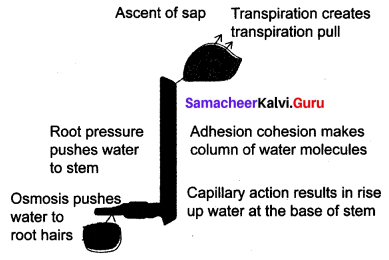 Transportation In Plants And Circulation In Animals Samacheer Kalvi 10th Science Solutions Chapter 14