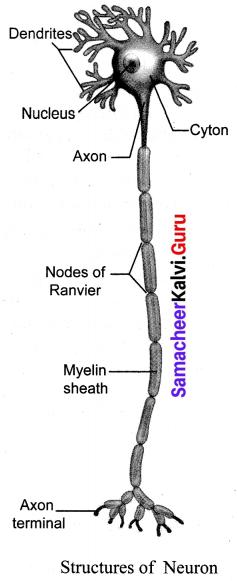 Samacheer Kalvi Guru 10th Science Book Pdf Download Chapter 15 Nervous System