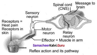 Samacheer Kalvi 10th Science Book Solutions Chapter 15 Nervous System