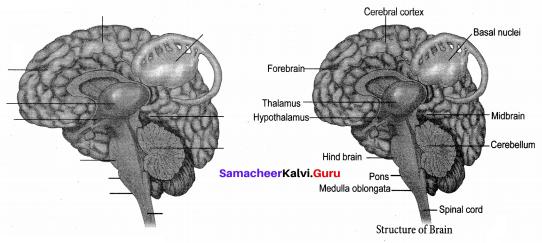 10th Samacheer Kalvi Science Solutions Chapter 15 Nervous System