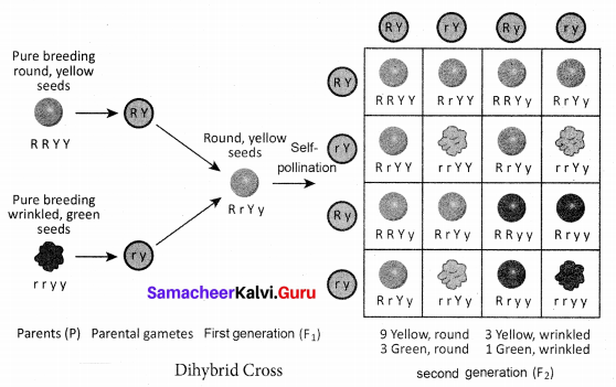 Samacheer Kalvi 10th Science Solutions Chapter 18 Heredity 2