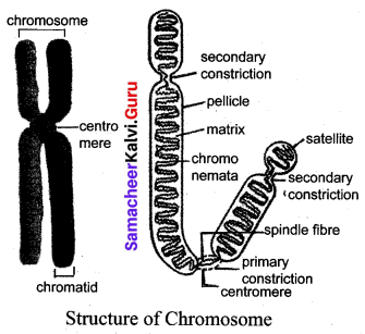 Samacheer Kalvi 10th Science Solutions Chapter 18 Heredity 6