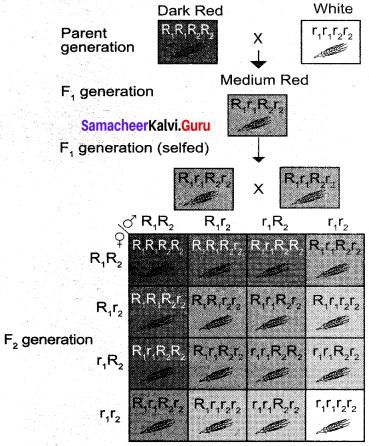 Samacheer Kalvi 12th Bio Botany Solutions Chapter 2 Classical Genetics img 1