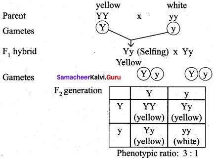 Samacheer Kalvi 12th Bio Botany Solutions Chapter 2 Classical Genetics img 8