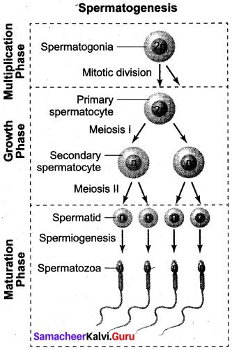 Samacheer Kalvi 12th Bio Zoology Solutions Chapter 2 Human Reproduction img 12