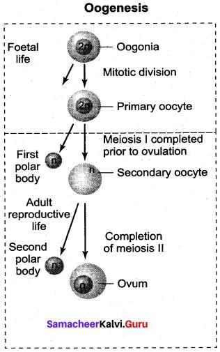 Samacheer Kalvi 12th Bio Zoology Solutions Chapter 2 Human Reproduction img 14