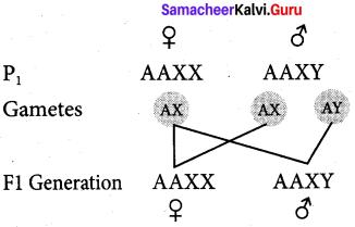Samacheer Kalvi 12th Bio Zoology Solutions Chapter 4 Principles of Inheritance and Variation img 3