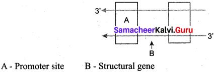 Samacheer Kalvi 12th Bio Zoology Solutions Chapter 5 Molecular Genetics img 1
