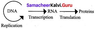 Samacheer Kalvi 12th Bio Zoology Solutions Chapter 5 Molecular Genetics img 5