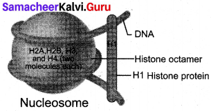 Samacheer Kalvi 12th Bio Zoology Solutions Chapter 5 Molecular Genetics img 6