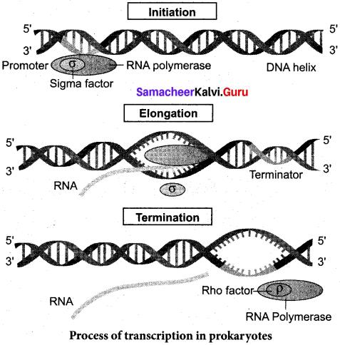 Samacheer Kalvi 12th Bio Zoology Solutions Chapter 5 Molecular Genetics img 7