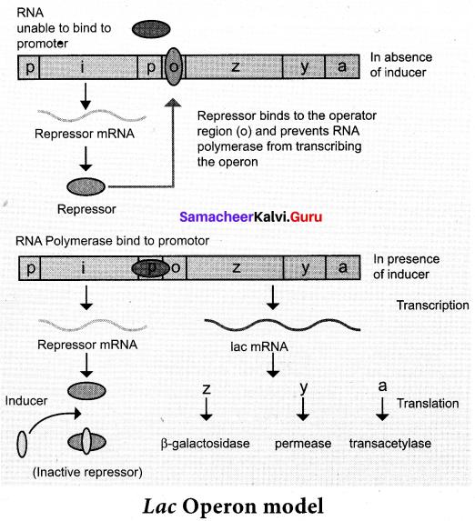 Samacheer Kalvi 12th Bio Zoology Solutions Chapter 5 Molecular Genetics img 9