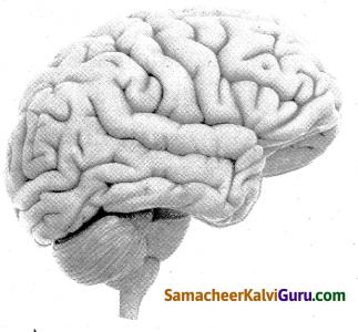 Samacheer Kalvi 4th Science Guide Term 1 Chapter 1 எனது உடல் 12