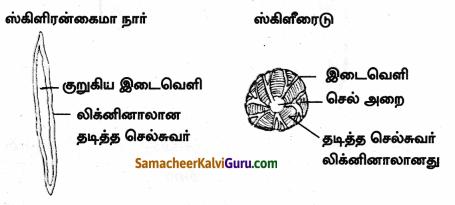 Samacheer Kalvi 9th Science Guide Chapter 18 திசுக்களின் அமைப்பு 66
