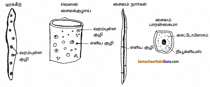 Samacheer Kalvi 9th Science Guide Chapter 18 திசுக்களின் அமைப்பு 70
