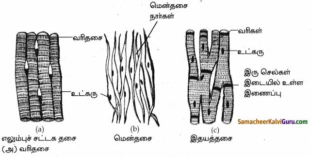 Samacheer Kalvi 9th Science Guide Chapter 18 திசுக்களின் அமைப்பு 79