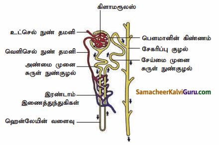 Samacheer Kalvi 9th Science Guide Chapter 20 விலங்குகளின் உறுப்பு மண்டலங்கள் 56