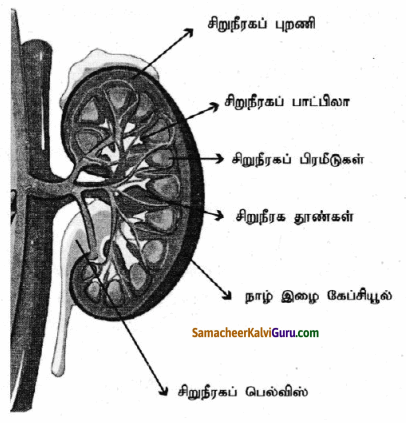 Samacheer Kalvi 9th Science Guide Chapter 20 விலங்குகளின் உறுப்பு மண்டலங்கள் 76