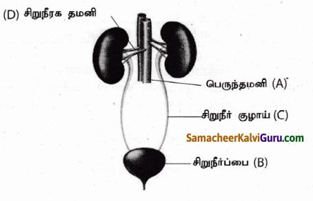 Samacheer Kalvi 9th Science Guide Chapter 20 விலங்குகளின் உறுப்பு மண்டலங்கள் 88