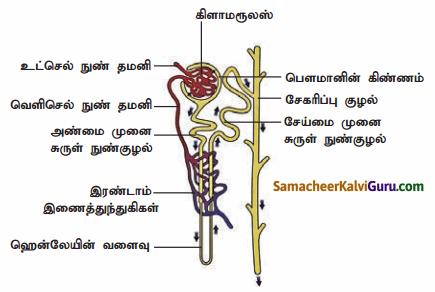 Samacheer Kalvi 9th Science Guide Chapter 20 விலங்குகளின் உறுப்பு மண்டலங்கள் 90